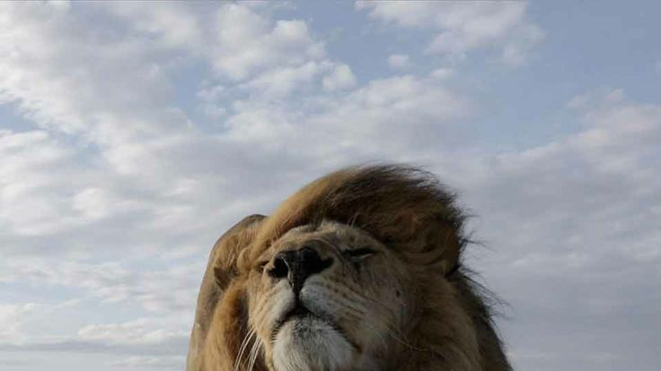 The Serengeti Lion | National Geographic Magazine | Freaking amazing! And they used a drone!