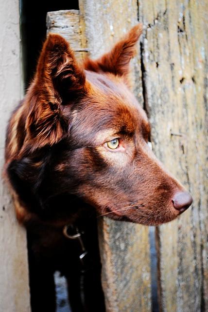 Australian Kelpie #Puppy #Dog #Dogs #Puppies
