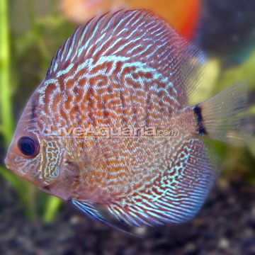 115 best images about discus on pinterest cichlids for Cool tropical fish
