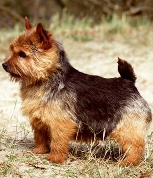Norwich Terrier    Wish I could have one just like that <3