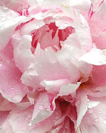 Pale Pink Peony unfolding