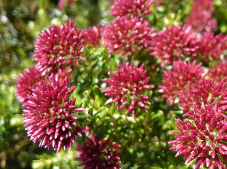 Hiking in Victoria's High Country | Hedonistic Hiking - Stunning alpine flowers