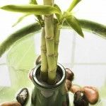 Most of the time, when people ask about growing bamboo indoors, what they are really asking about is lucky bamboo care. Proper care of a lucky bamboo plant is important, and this article will help.