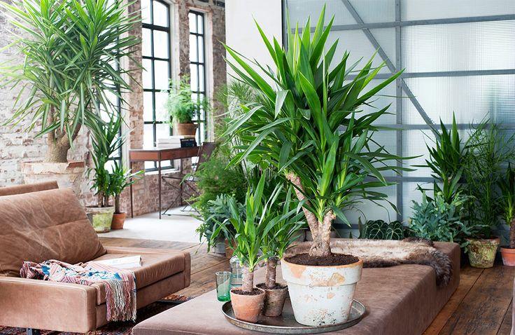 yucca_kamerplant
