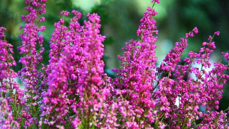 heather blossoms | Beautiful Heather Flowers wallpaper - ForWallpaper.com