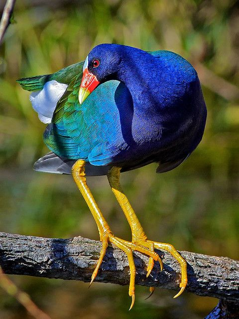 purple gallinule: Light blue forehead  •Dark purple head, neck, and underside. •Green back. •Red bill tipped with yellow. •Bill triangular like a chicken's, not flat like a duck's. •Legs yellow.