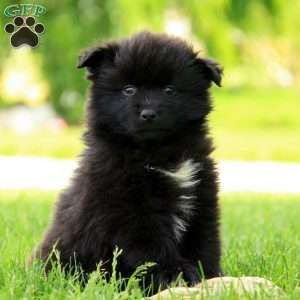 Pomsky Puppy in Gordonville, PA