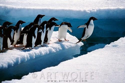 Art Wolfe penguins