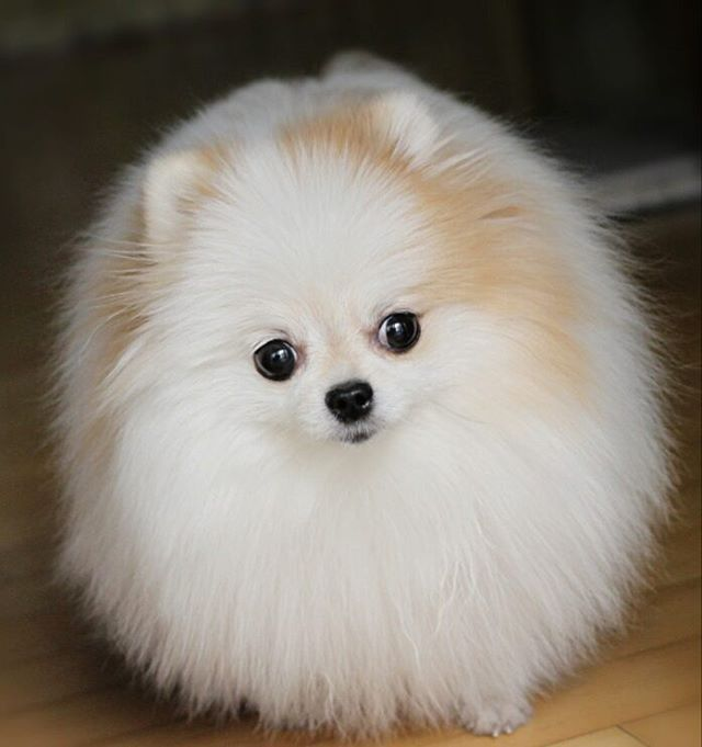 Best Pomeranians Images On Pinterest Feelings Parties And Sew - Someone should have told this dog owner that pomeranians melt in water