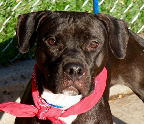 "JETTA - A1096818 - - Manhattan  Please Share:TO BE DESTROYED 11/26/16: ****PUBLIC ADOPTABLE**** A volunteer writes: Jetta is a determined gal with dainty streaks. She wears the chic ""little black dress"", does not walk into puddles and does her business in the curb and not on the side walk. She is quite focused though on what she wants, particularly food, but she will not search my goodies bag, just smell it. She voiced her discontentment at a staff who did not w"
