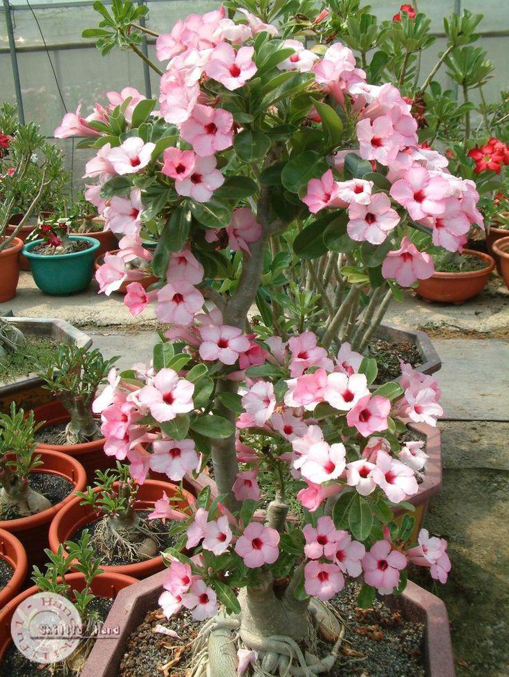 Adenium seeds arabicum Desert Rose Taiwan20