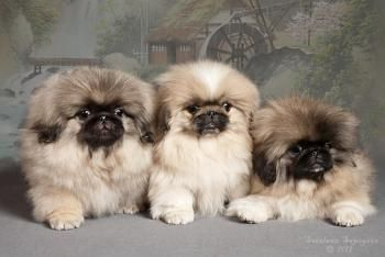 """Click visit site and Check out Cool """"Pekingeses"""" T-shirts. This website is top-notch. Tip: You can search """"your name"""" or """"your favorite shirts"""" at search bar on the top."""