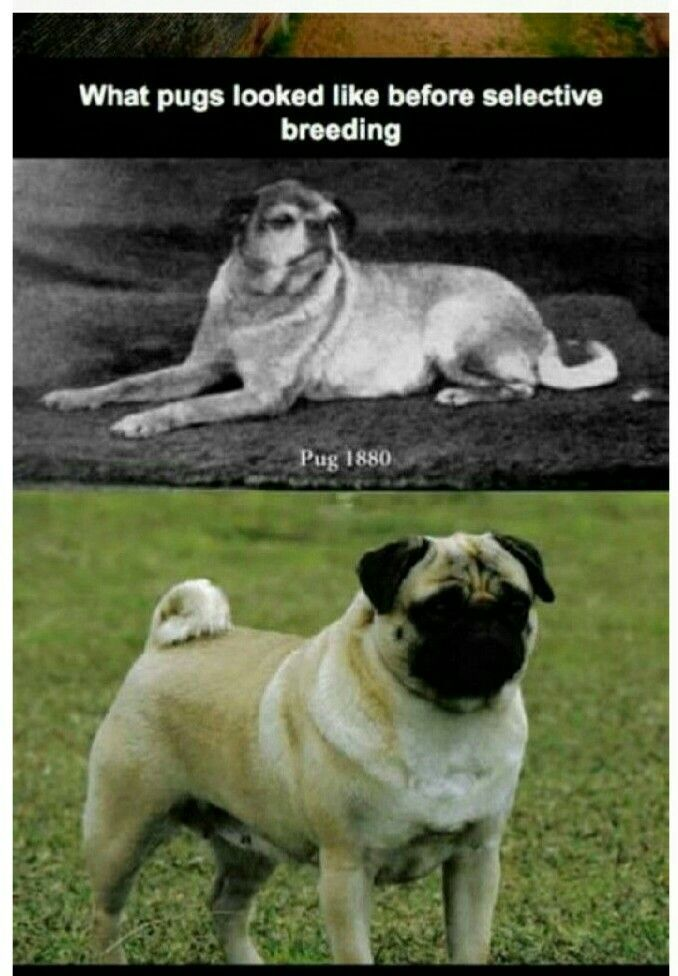 Pin By Aimee Lauren On Dog Stuff Mostly Pug Stuff Cute Animals