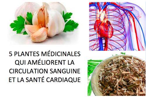5 plantes médicinales qui améliorent la circulation sanguine et la santé cardiaque