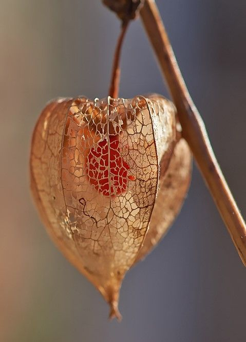 150 best physalis amour en cage images on pinterest cage blossoms and chinese lanterns - Fruit cage d amour ...
