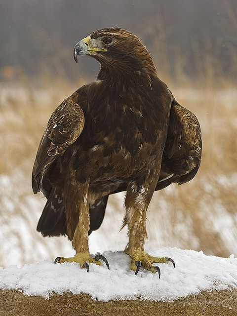 transylvanialand:    Golden Eagle (Aquila chrysaetos) by ER Post on Flickr.