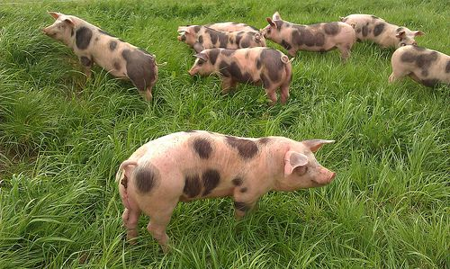 The author lists them as Gloucester Old Spots, but they look more like the Pietrain breed to me. Either way, they are lovely!  Photo credit: evilnick / Foter / CC BY-NC