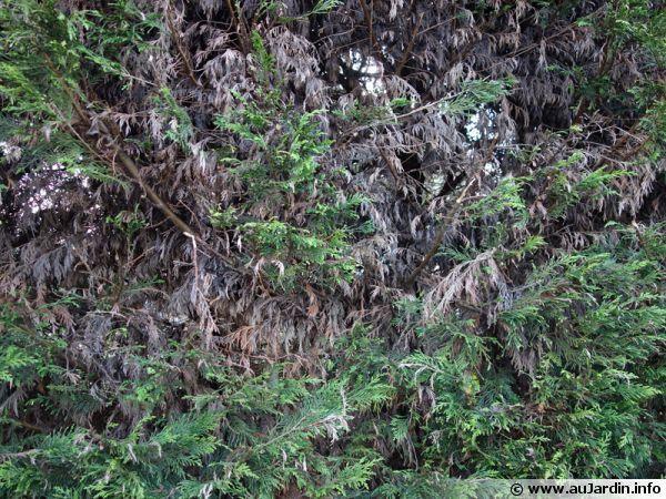 Les 8 meilleures images du tableau haie grimpante sur pinterest haies hedges et fleurs - Maladie des thuyas ...