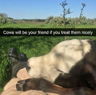 Cows will be your friend if you treat them nciely : AnimalsBeingBros