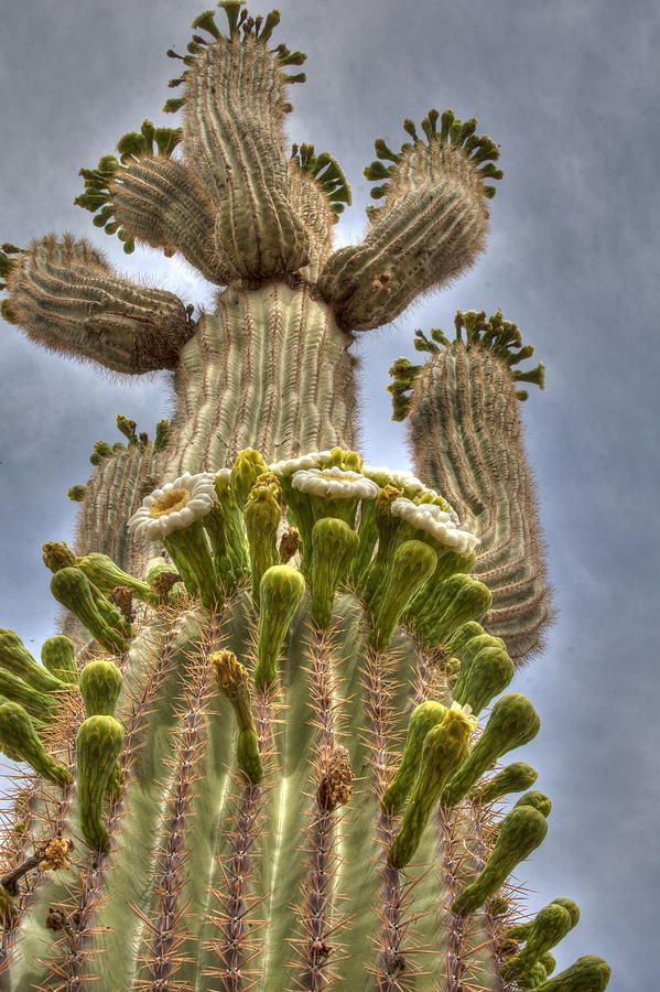Giant Saguaro Cactus in Bloom--I never got to see one in bloom but my Bob taught me to love the stark beauty of the American desert. It truly is one of my favorite places.