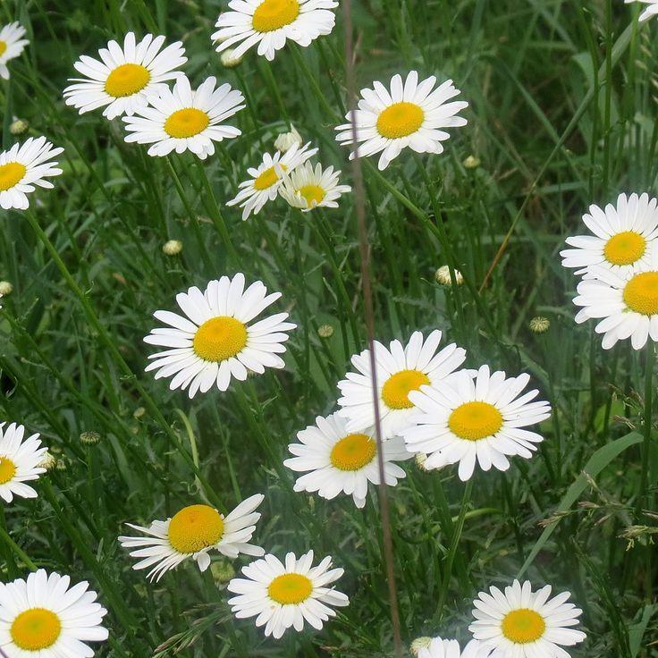 Prato fiorito con Margherite
