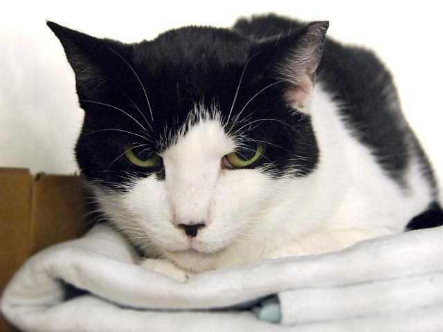 SHOCKTOP - A1088967 - - Manhattan  *** TO BE DESTROYED 09/11/16 *** SCINTILLATING SEPTET NEEDS OUR HELP TONIGHT!!….Ranging between 4 years old and 11 years old these seven sweeties are only part of a group of cats from a hoarding situation…..Some are New Hope and some are publicly adoptable but Experience rated…..they are all scared. They are mostly fixed but HEINEKEN & SAM ADAMS are not……BLUE MOON only has one tooth, bless her….Bad