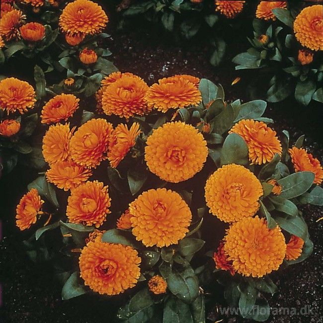 Morgenfrue 'Bon-Bon Orange'