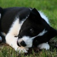 #dogalize Dog breeds: Karelian Bear Dog temperament and personality #dogs #cats #pets