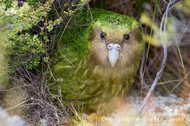 kakapo - Google Search