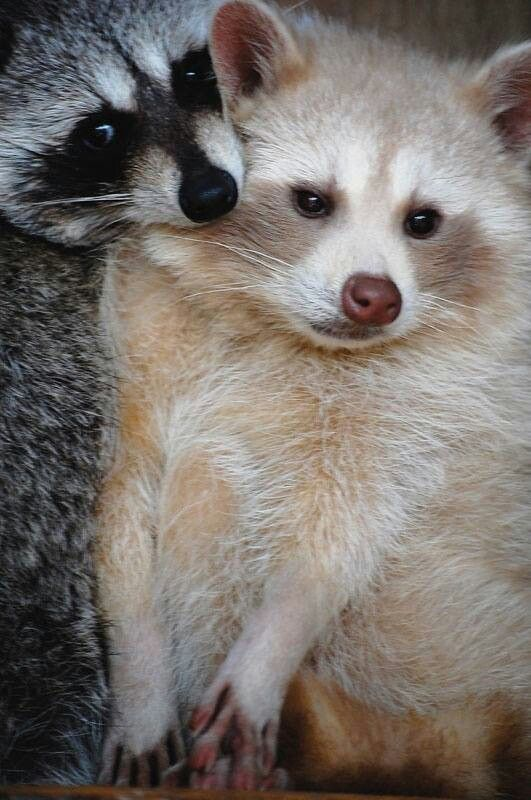 Racoons. One is a normal masked color, the other one is a blonde raccoon (rare).