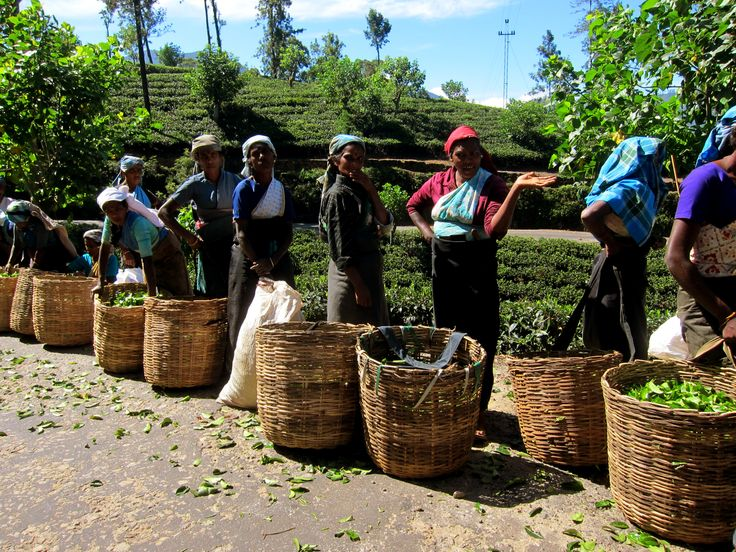 Tea picking at Hatton in Central Sri Lanka