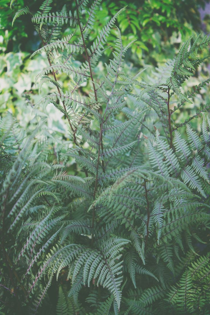 Athyrium x 'Ghost'/ Lady fern or Ghost fern, woodland fern collection.