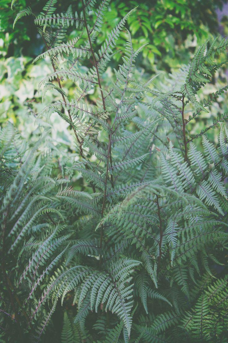 Athyrium x 'Ghost'/ Lady fern or Ghost fern, woodland fern collection.