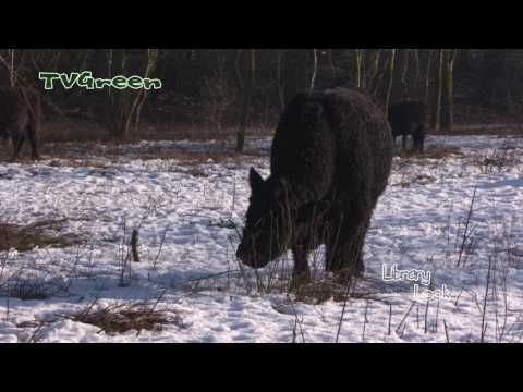 Galloway cattle in winter, Biotope conservation with ruminants - YouTube