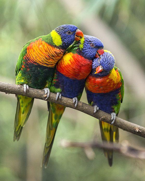 Rainbow Lorikeets at the Nashville Zoo