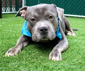 Manhattan Center Q – A1114030 MALE, GRAY, PIT BULL MIX, 6 yrs STRAY – STRAYAVAI, NO HOLD Reason OWNER DIED Intake condition UNSPECIFIE Intake Date 06/03/2017, From NY 11368, DueOut Date 06/06/2017,