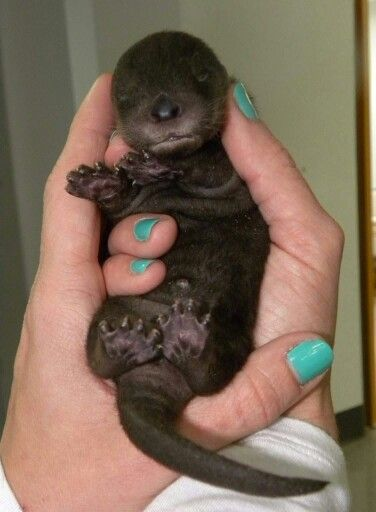 5 day old baby otter - look at those little footsies...and the little tootsies at the end of the little footsies!