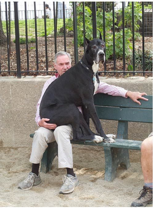 ALL dogs think they are lap dogs, regardless of size. ( This is soooo true, my great dane thinks she is a little puppy)
