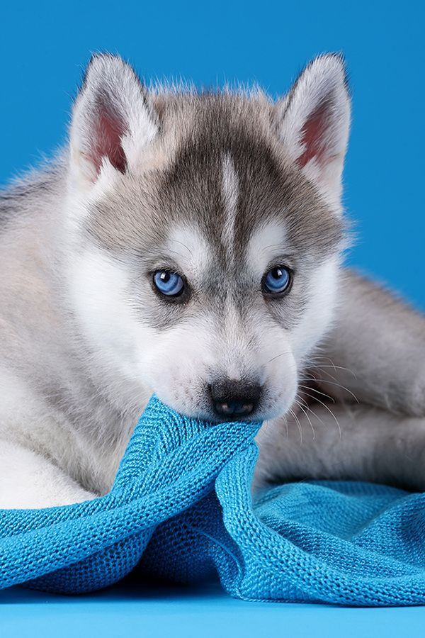 A Cute Siberian Husky Puppy 7 Photos With Other Cute Animals To