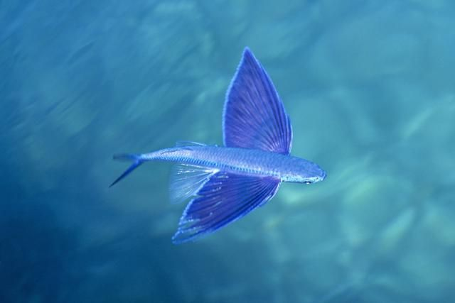 1000 images about fish on pinterest sea turtles ripped for Where do flying fish live