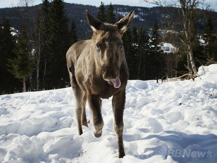 スウェーデン・ドゥベド(Duved)にあるヘラジカ牧場で、雪原を走る子ヘラジカ(2013年5月31日撮影、資料写真)。(c)AFP/Jonathan Nackstrand ▼3Jun2014AP 窓から突然ヘラジカが! 教室が大パニック スウェーデン http://www.afpbb.com/articles/-/3016610 #Duved #Moose #Alces_alces #Elch #Rusa_besar #Eland #Alce