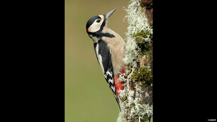 Great spotted woodpecker by Iain Leach