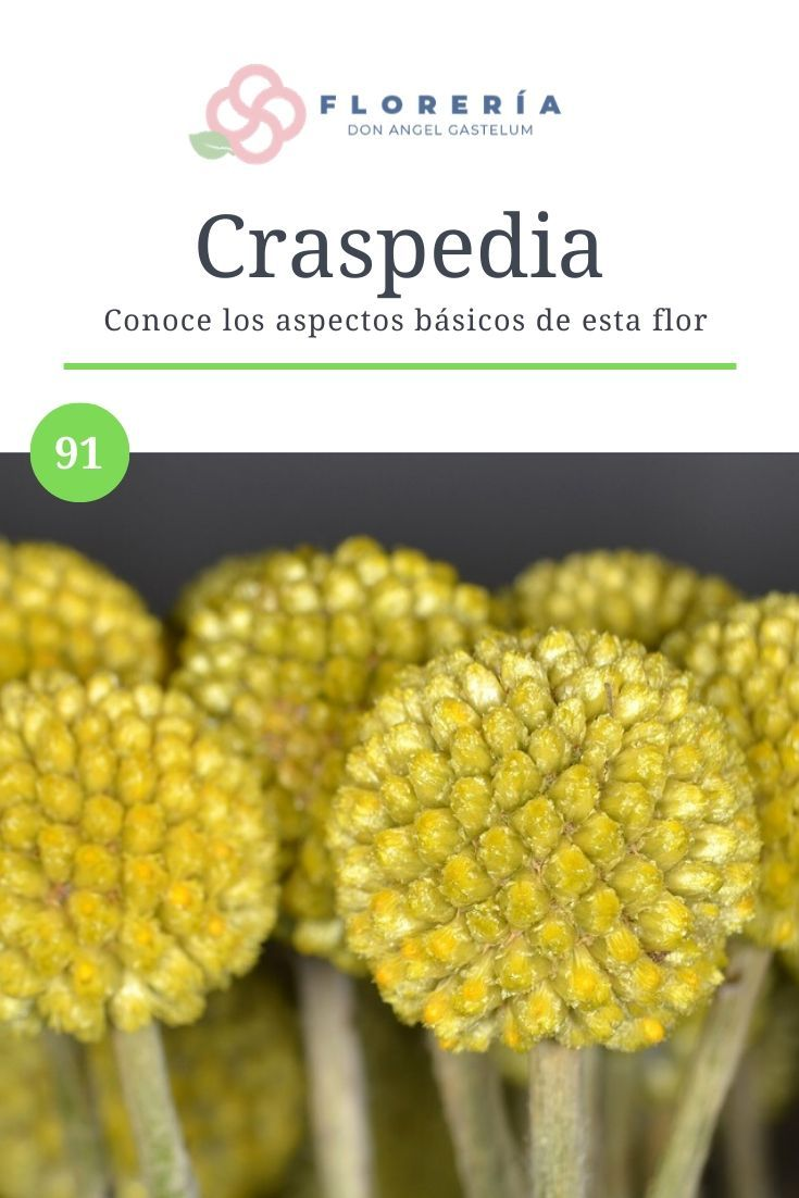 Craspedia Florería Don ángel Gastélum Vegetables Food