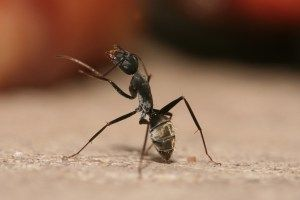 Carpenter Ants control
