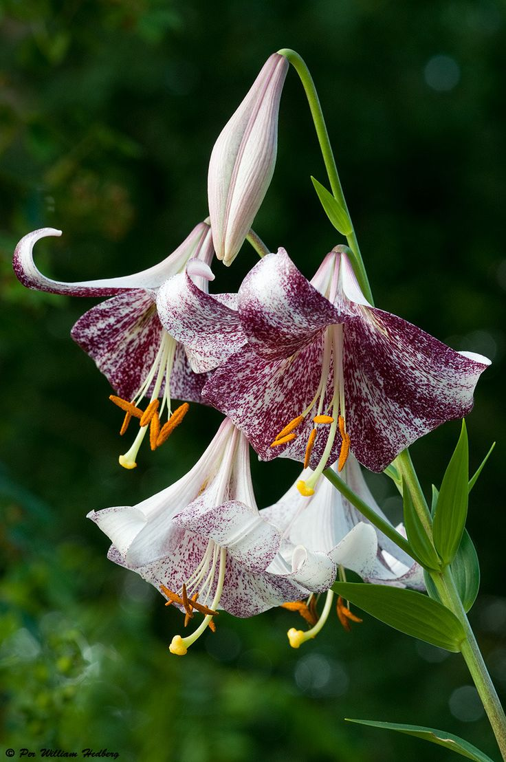Wp images lilium post 4 - Photo Of The Bloom Of Lily Lilium Lankon Posted By William National Gardening Association