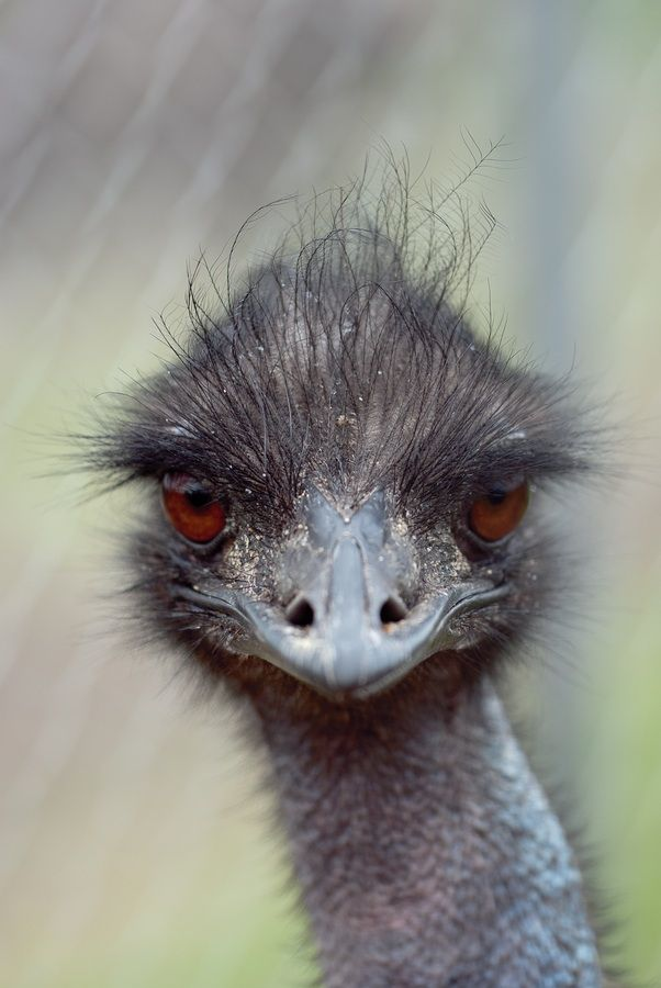 versaversa:  Bad Hair Day:  Yong Emu