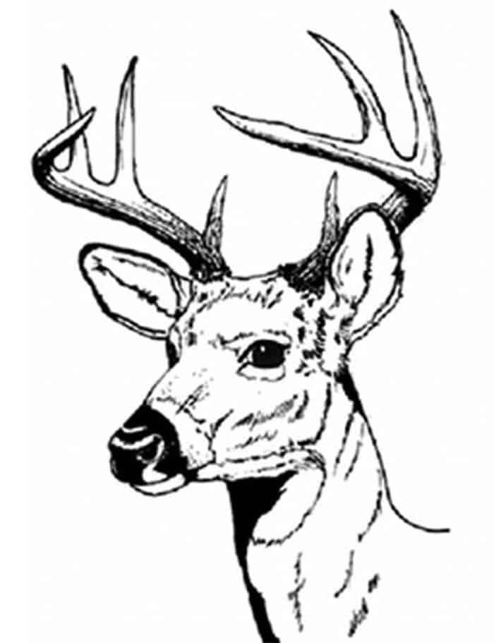 Deer Head Coloring Pages For Adults Zoo Animal Coloring Pages Animal Coloring Pages Deer Coloring Pages