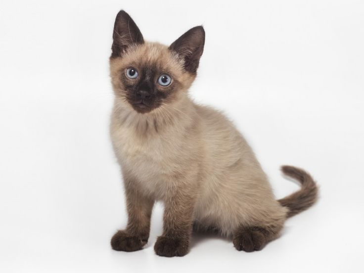 Five universal personality traits of the siamese cat for Siamese 9 electric motor