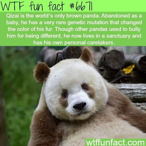 Qizai, the brown panda - WTF fun fact                                                                                                                                                                                 More