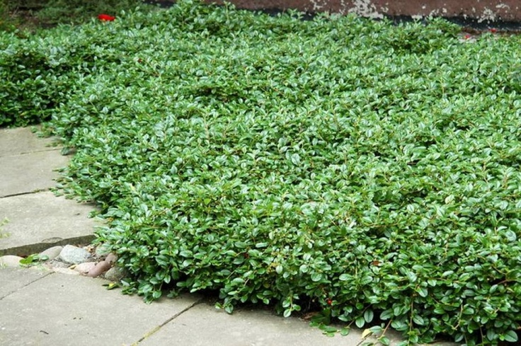 42 best plants images on pinterest plants gardening and garden - Cotoneaster dammeri green carpet ...